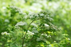 Bloeiende tak van wilde witte die chamaedryfolia van spiraeaspiraea in een bos door de zon wordt verlicht Stock Afbeelding