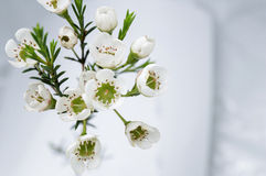 Bloeiende takken met wasbloemen (Chamaelaucium-uncinatum) Royalty-vrije Stock Afbeeldingen