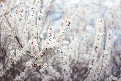 Bloeiende takken van boom op aard vage achtergrond Ondiepe Diepte van Gebied De stemming van de lente Sakura Blossom royalty-vrije stock fotografie