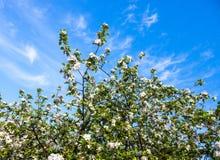 Bloeiende takken van de appelboom tegen de blauwe hemel Stock Foto