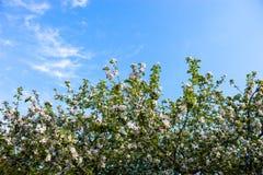 Bloeiende takken van de appelboom tegen de blauwe hemel Royalty-vrije Stock Afbeeldingen