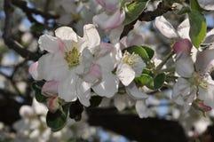 Bloeiende takken van een appelboom met witte bloemen en knoppen stock fotografie