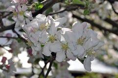 Bloeiende takken van een appelboom met witte bloemen en knoppen stock afbeeldingen