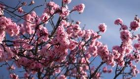 Bloeiende takken van een boom die in de wind slingeren stock videobeelden