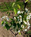 Bloeiende takken van fruitboom tegen in de tuin stock afbeeldingen