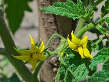 Bloeiende tomatenbloemen bij de lentezon Stock Afbeeldingen