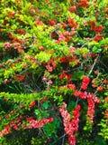 Bloeiende tuin Stock Foto
