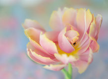 Bloeiende Tulp Royalty-vrije Stock Afbeelding