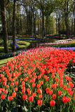 Bloeiende tulpen Stock Fotografie
