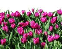 Bloeiende tulpen Stock Foto's