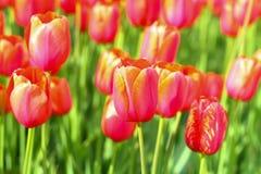 Bloeiende tulpen Royalty-vrije Stock Foto's