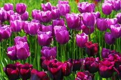 Bloeiende tulpen Royalty-vrije Stock Afbeeldingen