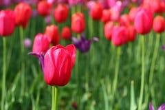 Bloeiende tulpen Royalty-vrije Stock Foto