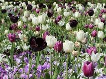 Bloeiende tulpen Royalty-vrije Stock Afbeelding