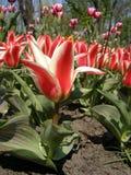 Bloeiende tulpen stock foto