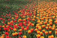 Bloeiende tulpen in de lente stock foto