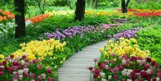 Bloeiende tulpen in de tuin stock fotografie