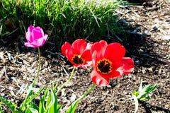 Bloeiende tulpen die van een zon gevulde dag genieten stock afbeeldingen