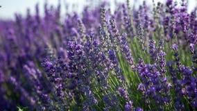 Bloeiende twijgen van lavendel
