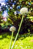 Bloeiende ui in de tuin tijdens de de zomerdag Stock Foto's