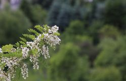 Bloeiende Valse Acacia Royalty-vrije Stock Afbeeldingen