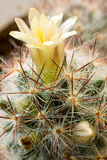 Bloeiende verticale cactus, Stock Foto