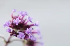 Bloeiende violette bloemen, grijze kleurenachtergrond Zachte nadruk Ondiepe Diepte van Gebied Rijpe zaden van granaatappel De rui Stock Foto