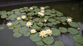 Bloeiende waterlelie ` s Royalty-vrije Stock Fotografie