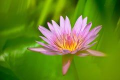 Bloeiende waterleliebloem Stock Afbeelding