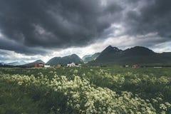 Bloeiende weide dichtbij Fredvang-dorp, Lofoten in Noorwegen stock afbeelding