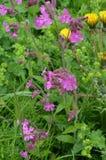 Bloeiende weideinstallaties - gemeenschappelijke (kleverige) teer (Lat vulgaris viskarya) en paardebloemen Royalty-vrije Stock Foto