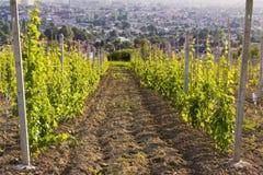 Bloeiende wijngaard op de heuvel met stad op horizon, dichtbij Jaslo in Podkarpacie, Polen Royalty-vrije Stock Fotografie