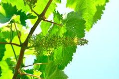 Bloeiende wijnstokken Royalty-vrije Stock Fotografie