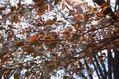 Bloeiende wilde kersenbloesems Stock Foto's