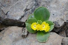 Bloeiende wilde Primula op de kalksteenklip in Mala Fatra NP Stock Afbeeldingen