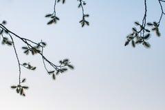 Bloeiende wilg in het park, tegen de achtergrond van de de lente blauwe hemel royalty-vrije stock foto's