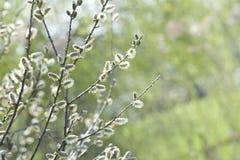 Bloeiende Wilg (Salix-caprea) Royalty-vrije Stock Fotografie
