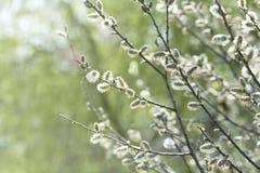 Bloeiende Wilg (Salix-caprea) Royalty-vrije Stock Foto