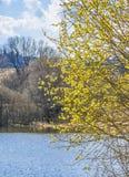 Bloeiende wilg (Salix-caprea) Royalty-vrije Stock Foto's
