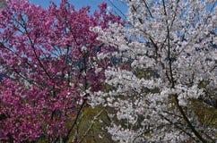 Bloeiende wit en roze kersenbloesem, de lente in Kyoto Japan Royalty-vrije Stock Foto