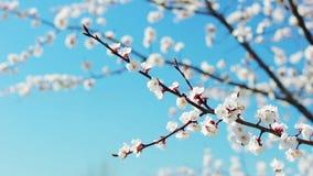 Bloeiende witte abrikozentakken De kaart van de lente April-dag De aard van de lente stock footage