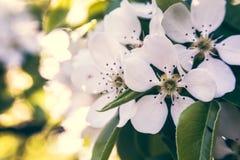 Bloeiende witte appelboom stock foto