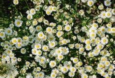 Bloeiende witte bloemen van Matricaria-chamomilla Stock Afbeelding
