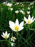 Bloeiende witte bloemenclose-up Royalty-vrije Stock Afbeeldingen