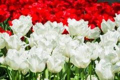 Bloeiende witte en rode tulpen in gazon, selectieve nadruk, in Keuke Stock Fotografie