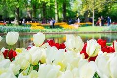 Bloeiende witte en rode tulpen met park op de achtergrond in Keu Stock Afbeelding