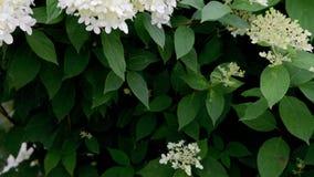 Bloeiende witte Hydrangea hortensiabloem in de tuin stock video