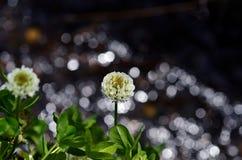 Bloeiende witte klaver en kreek, de lente Stock Foto's