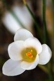 Bloeiende witte Krokus (lat. Krokus) Royalty-vrije Stock Afbeeldingen