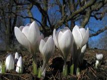 Bloeiende witte krokussen Stock Afbeelding
